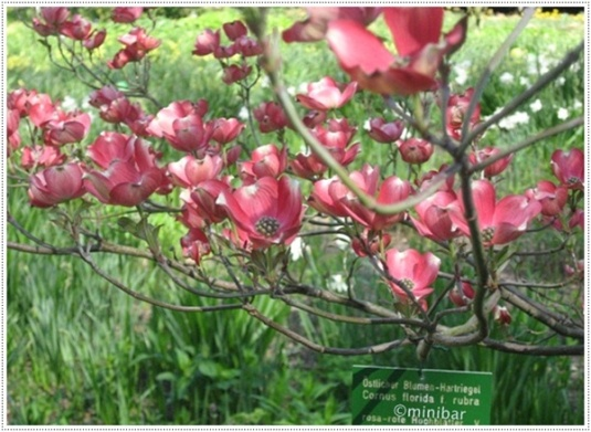 roter Hartriegel_0747