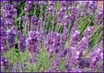 Lavendel_0048a