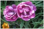 Tulpen_0858a