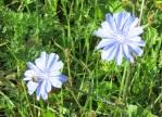 blauweisseblümchen_0174-crop