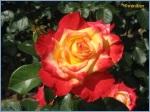 Rose_0342a