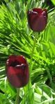 dunkleTulpen_0676-crop