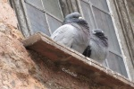 2 Tauben hoch oben –IMG_0693