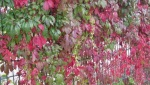 Herbstlaub Weinf 2011IMG_3213