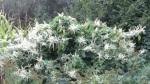 Weiße Blüten Weinf2011IMG_3223
