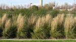 Gräser E10-2011IMG_4315