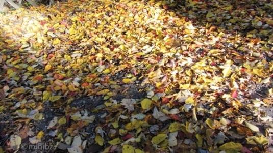 Herbstlaub Nov2011IMG_4699