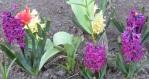 gelb + lila HyazinthenIMG_7007
