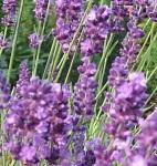 Lavendel IMGa_0048-crop