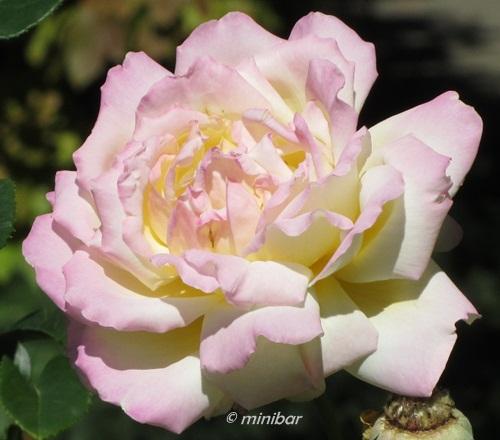 Rose BruchsalIMG_2474