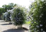 Blüten BruchsalIMG_2526