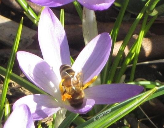 Krokus-Biene 6063 bc
