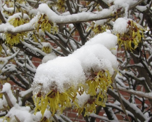 6232 Forsythie im Schnee