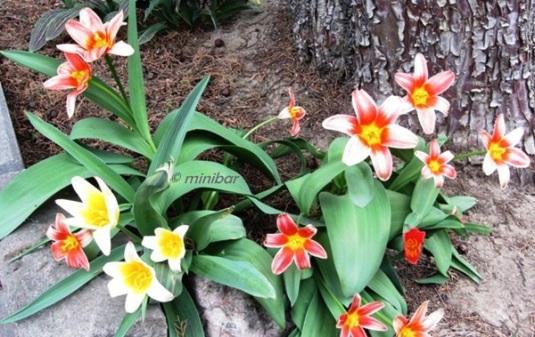 Tulpen IMG_6619Wester13