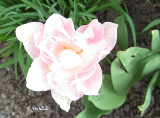 Tulpe 7135