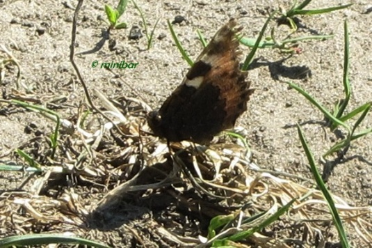Schmetterling IMG_7163Wester13-crop