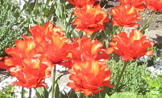 7169wester13cr Tulpen