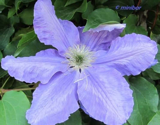 IMG_8184Wester13 Clematis