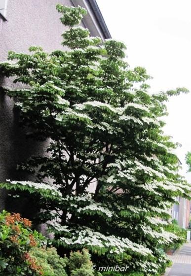 IMG_8330Wester13 Taschentuchbaum