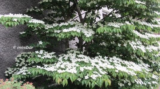 8331 Taschentuchbaum
