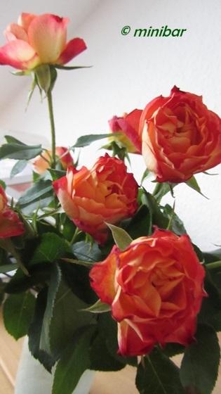 IMG_0063Senden Rosen