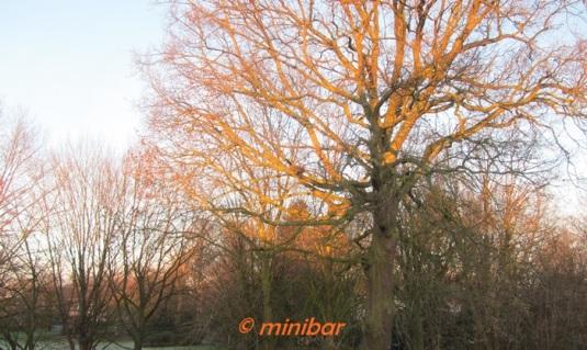 IMG_1756Sen13 Eiche in Morgensonne