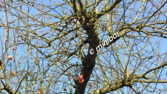 IMG_2456Sen14 Apfelbaum