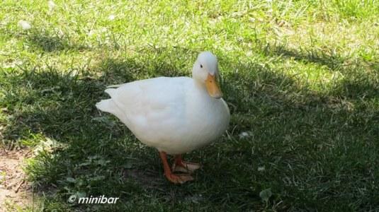 IMG_4474Sen14 weiße Ente