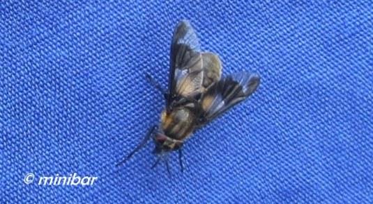 IMG_5079Sen 07.14 Fliege